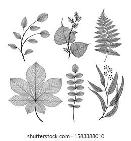 Leaf vector set. Botanical leaves branch isolated on background. Elegant skeleton objects design in black color. Modern minimalism skeleton vein style. Fern, eucalyptus, chestnut