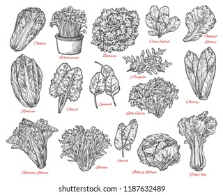 Leaf vegetable and salad vector sketch . Spinach, iceberg and romaine lettuce, chinese cabbage, chicory and corn salad, arugula, chard and sorrel, bok choy, watercress and batavia sketches
