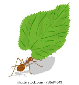 Leaf-cutter ant vector. Red ant carrying green leaf. Ant carry leaf vector illustration. Isolated ant and leaf on white background.