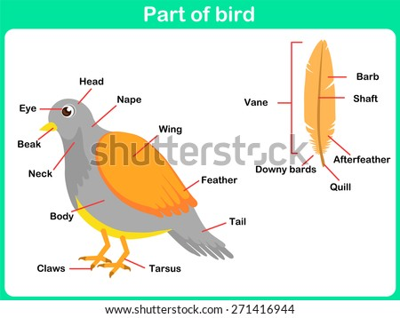 Leaning Parts Bird Kids Worksheet Stock Vector Royalty Free