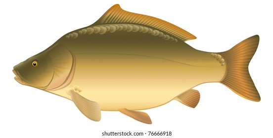 "Leather Carp (Cyprinus carpio), European freshwater fish. ""Full compatible. Created with gradients."""