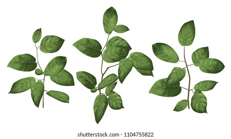 Leaves and branches of an evergreen salal, shallon, or simply gaultheria plant isolated on white background. Vector watercolor  elegant hand drawn set