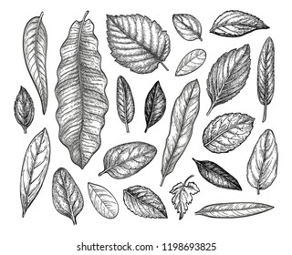 Leaves collection. Ink sketch isolated on white background. Hand drawn vector illustration. Retro style.