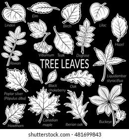 Leaves Contour Silhouette collection: Dogrose, Oak Iberian Oak, Maple, Liquidambar, Hawthorn, Poplar Silver, Hazel, Elm, Birch, Linden, Rowan, Chestnut, Buckeye, Viburnum, Chokeberry, Lilac, Teak. Vector