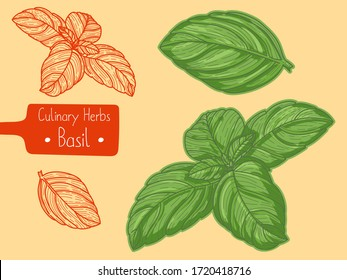 Leaves of food and culinary herb Basil, hand-draw sketch illustration