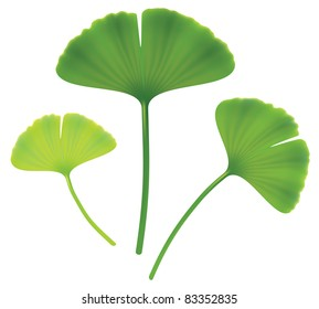 Leaves of ginkgo biloba. Vector isolated  illustration on white background.