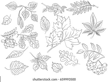 Leaves maple summer nature doodle. Leaves, birch, wild ash. Vector illustration