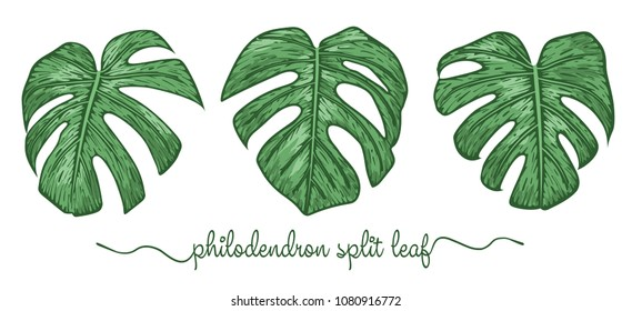Leaves of philodendron elements set. Botany hand drawn graphic illustration. Collection of philodendron foliage on a white background. Vector beautiful, decorative illustration