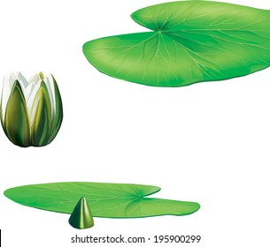 Leaves of water lily plant, Lotus flower and leaf isolated on white, Vector illustration