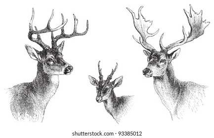 left Common or Virginian Deer (Cervus virginianus), middle Common muntjac (Cervulus Muntjac), right Fallow Deer (Dama vulgaris) / vintage illustration from Meyers Konversations-Lexikon 1897