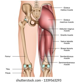 leg back muscles 3d medical vector illustration on white background