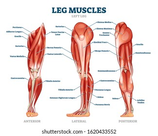 Leg muscle anatomical structure, labeled front, side and back view diagrams. Vector illustration informative medical scheme. Detailed anterior, lateral and posterior views.Men sports fitness training.