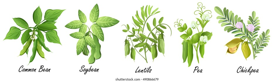 Legume plants (common bean. soybean, lentil, pea, chickpea). Set of hand drawn vector illustrations of various legume plants on white background.