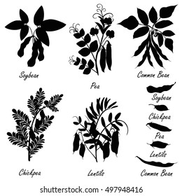Legume plants (common bean. soybean, lentil, pea, chickpea ). Set of hand drawn vector silhouettes of various legume plants (pulses) and bean pods.