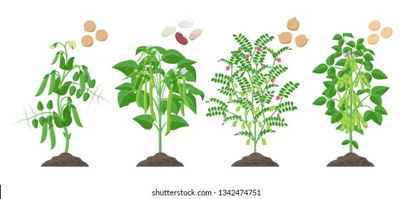 Legumes plants with ripe fruits growing from soil isolated on white background. Pea, Common Bean, Chickpea, Soybean mature plants with pods and green foliage and their ripe seeds infographic element.