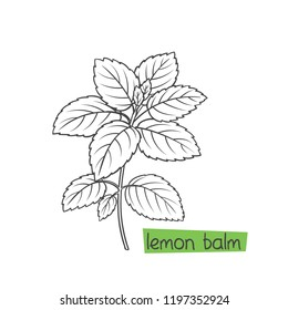 Lemon balm bunch hand drawn vector illustration. Medical herbs and plants.
