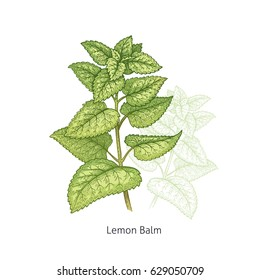 Lemon Balm. Color medical herbs and plants Isolated green on white background series. Vector illustration. Art sketch. Hand drawing object of nature. Vintage engraving style.
