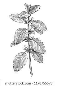 Lemon balm illustration, drawing, engraving, ink, line art, vector