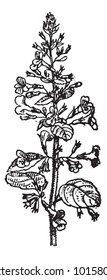 Lemon Balm or Melissa officinalis, showing flowers, vintage engraved illustration. Dictionary of Words and Things - Larive and Fleury - 1895