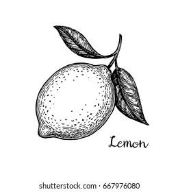 Lemon. Isolated on white background. Hand drawn vector illustration. Retro style.