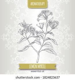 Lemon myrtle aka Backhousia citriodora sketch on elegant lace background. Aromatherapy collection. Great for traditional medicine, perfume design, cooking or gardening.