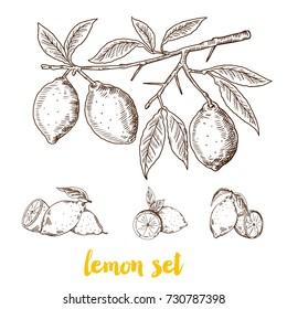 Lemon set. Hand drawn vintage lemon plant, Vector hand drawn graphic