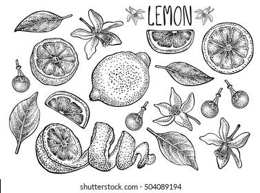 Lemon set. Vector hand drawn graphic illustration