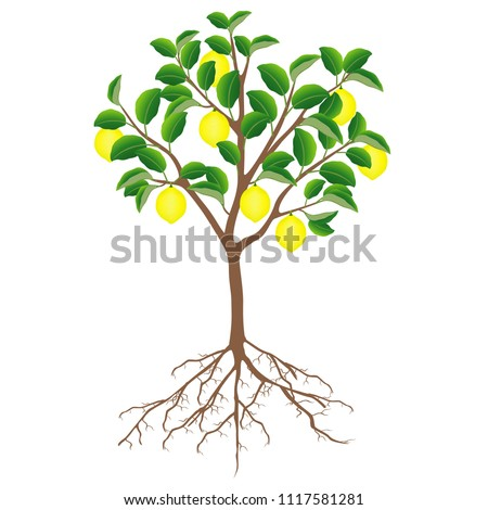 Lemon Tree Fruits Roots On White Stock Vector Royalty Free