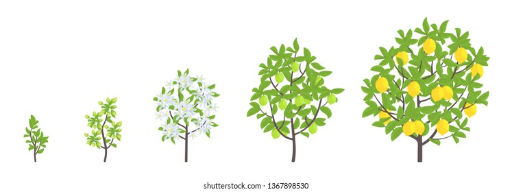 Lemon tree growth stages. Vector illustration. Ripening period progression. Fruit tree life cycle animation plant seedling. Lemon increase phases. Citrus limon.