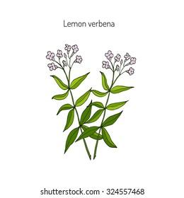 Lemon verbena, or lemon beebrush (aloysia citrodora) - aromatic and medicinal plant. Vector illustration