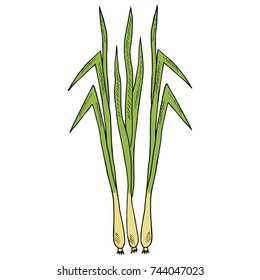 Lemongrass (cymbopogon), or lemon grass, barbed wire grass, silky heads, citronella grass. Culinary herb, medicinal plants, spicy. Leaves and root. Hand drawn ink illustration.