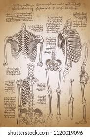 Leonardo da Vinci sketches. Leonardo da vinci anatomy drawings. Retro anatomy poster. Bones anatomy. Vintage engraving poster. Anatomy sketches.