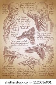 Leonardo da Vinci sketches. Leonardo da vinci anatomy drawings. Retro anatomy poster. Vintage engraving poster. Anatomy sketches. Shoulder joint anatomy.