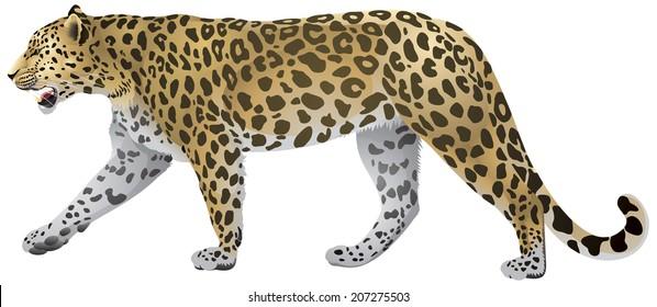 Leopard Walking, wild big cat realistic vector illustration