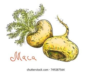 Lepidium meyenii, maca,  maca-maca, maino, ayak chichira, ayak willku. Vector illustration