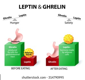 Leptin the satiety hormone. Ghrelin the hunger hormone. When ghrelin levels are high feel hungry. After eat, ghrelin levels fall and we feel satisfied.
