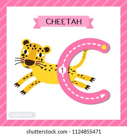 Letter C uppercase cute children colorful zoo and animals ABC alphabet tracing flashcard of Jumping Cheetah for kids learning English vocabulary and handwriting vector illustration.