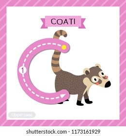 Letter C uppercase cute children colorful zoo and animals ABC alphabet tracing flashcard of Standing Coati for kids learning English vocabulary and handwriting vector illustration.