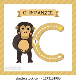 Letter C uppercase cute children colorful zoo and animals ABC alphabet tracing flashcard of Standing Chimpanzee for kids learning English vocabulary and handwriting vector illustration.