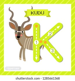 Letter K uppercase cute children colorful zoo and animals ABC alphabet tracing flashcard of Kudu for kids learning English vocabulary and handwriting vector illustration.