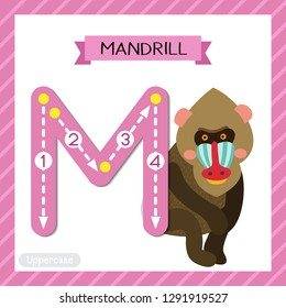 Letter M uppercase cute children colorful zoo and animals ABC alphabet tracing flashcard of Sitting Mandrill for kids learning English vocabulary and handwriting vector illustration.