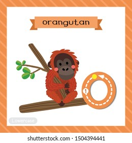 Letter O lowercase cute children colorful zoo and animals ABC alphabet tracing flashcard of Orangutan sitting on branch for kids learning English vocabulary and handwriting vector illustration.