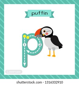 Letter P lowercase cute children colorful zoo and animals ABC alphabet tracing flashcard of Puffin bird for kids learning English vocabulary and handwriting vector illustration.