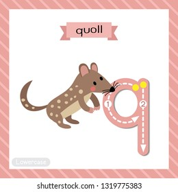 Letter Q lowercase cute children colorful zoo and animals ABC alphabet tracing flashcard of Standing Quoll for kids learning English vocabulary and handwriting vector illustration.