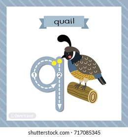 Letter Q lowercase cute children colorful zoo and animals ABC alphabet tracing flashcard of Quail bird perching on wood log for kids learning English vocabulary and handwriting vector illustration.
