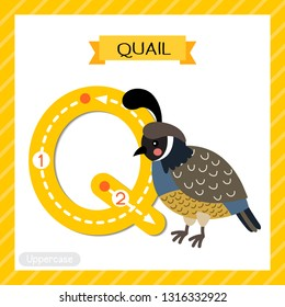 Letter Q uppercase cute children colorful zoo and animals ABC alphabet tracing flashcard of Quail bird for kids learning English vocabulary and handwriting vector illustration.