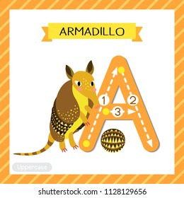 Letter A uppercase cute children colorful zoo and animals ABC alphabet tracing flashcard of Armadillo for kids learning English vocabulary and handwriting vector illustration.