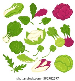Lettuce salads leafy vegetables. Cauliflower and arugula, kohlrabi and brussels sprouts, chinese cabbage napa or pak choi, sorrel, chicory and spinach and lollo rossa radicchio. Vector isolated icons