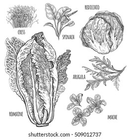 Lettuce set. Romaine, redicchio, mache, spinach, cress, arugula. Vintage vector illustration. Hand drawing style vintage engraving. Black and white. For create menu, recipes, decorating kitchen items.