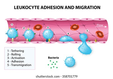 Leukocyte adhesion and migration.